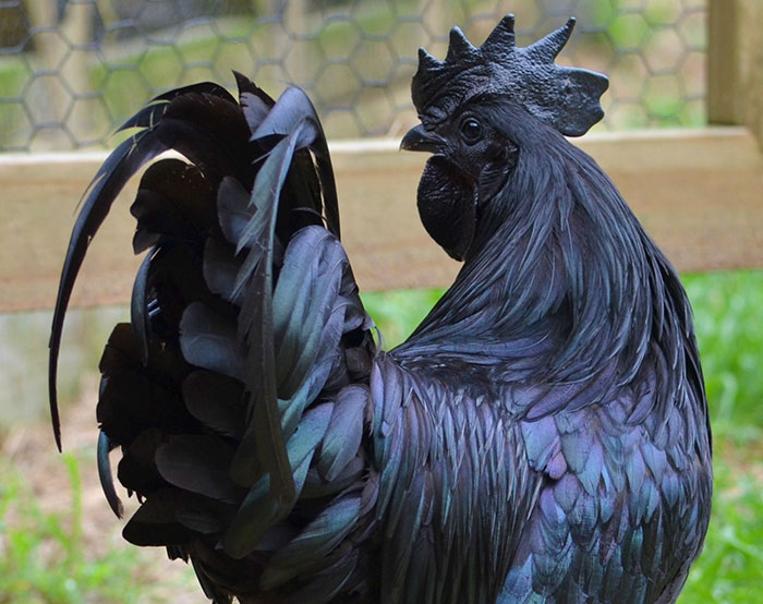 Black Goth Chicken Ayam Cemani Rooster