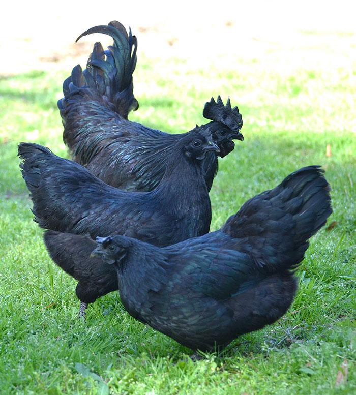 Black Goth Chicken Ayam Cemani 3 hens