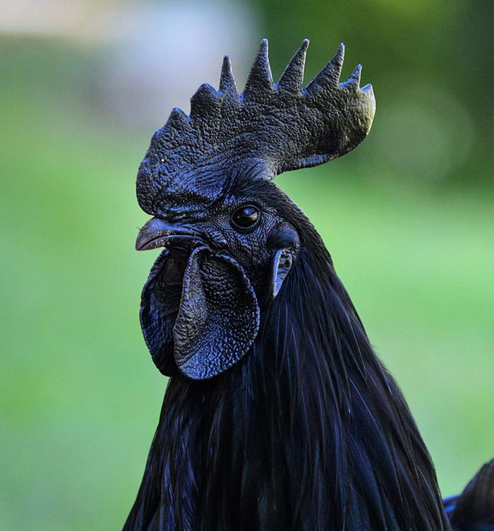 Black Goth Chicken Ayam Cemani Black eyes