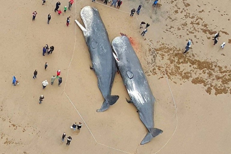 Dead Sperm Whales Found in Germany
